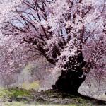 桜は満開ですが・・・